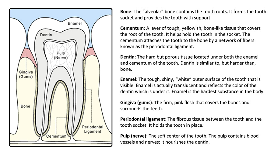 anatomy of a tooth